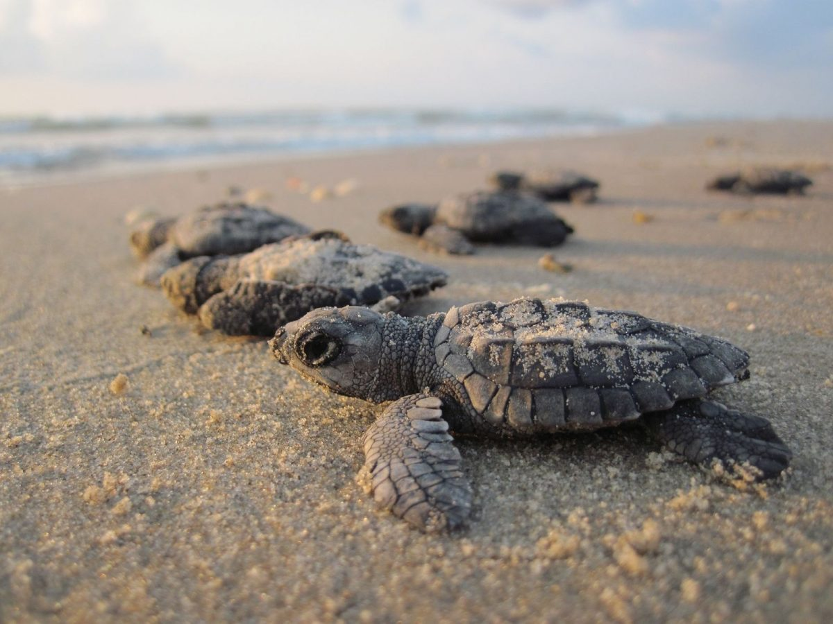 baby sea turtles crawling towards the water
