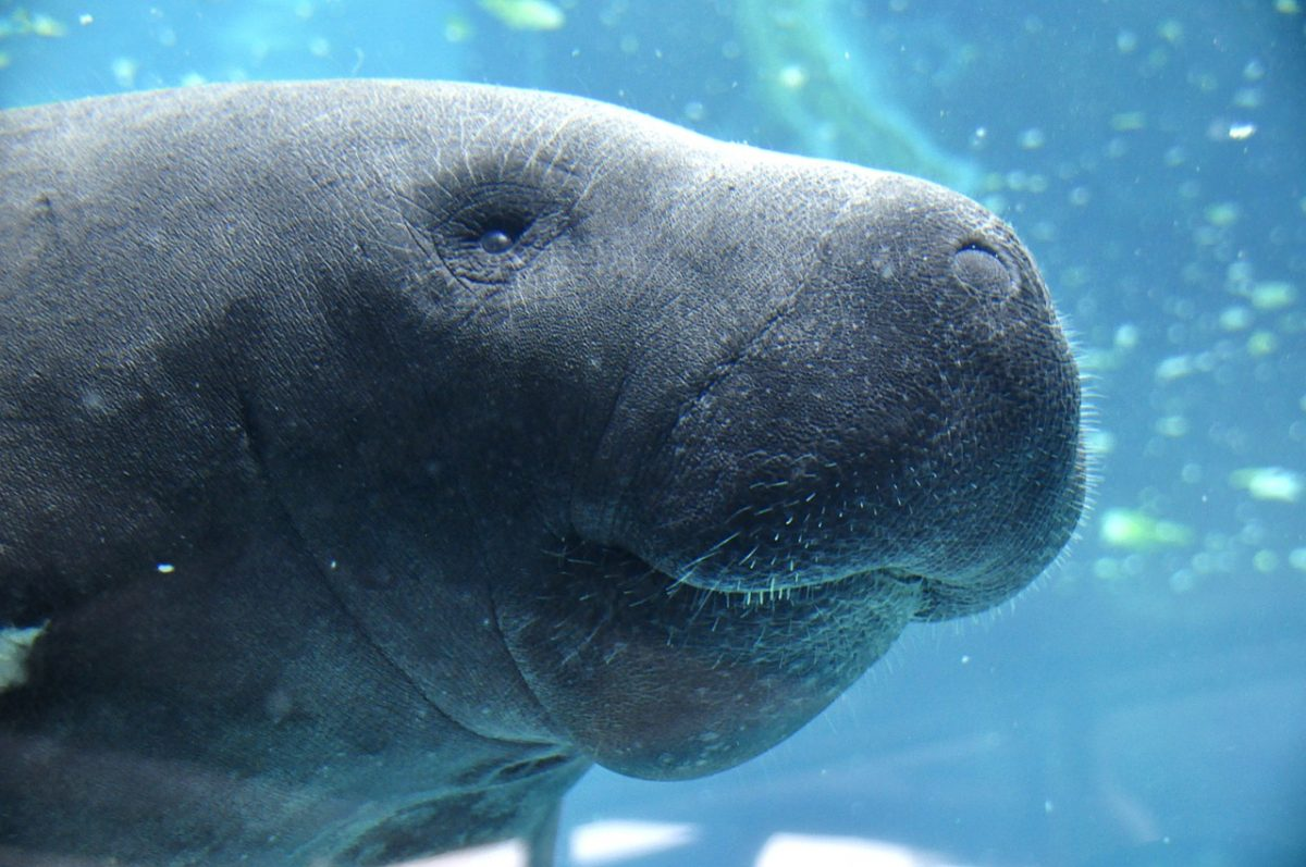 You can see the manatee right up against the glass, where instructional videos will cover more details about their survival, interests, and more.