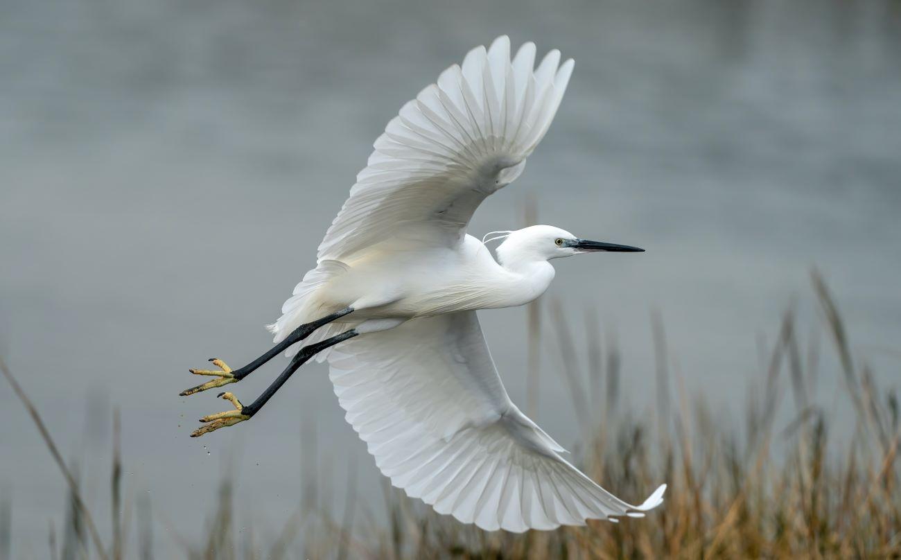 heron over water by siesta key