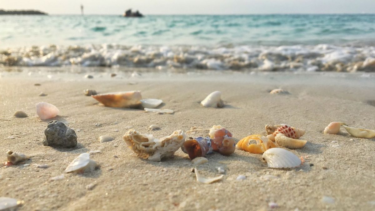 seashells on Siesta Key Beach